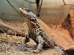 Large scaled girdled lizzard