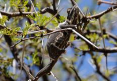 Little karoo dwarf chameleon