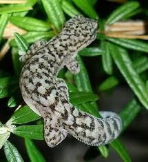Marble leaf toed gecko