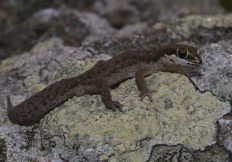 Oscillated thick toed gecko