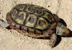 Parrot beaked tortoise