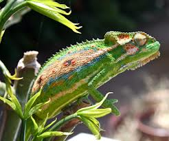 Western dwarf chameleon