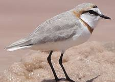 banded plover