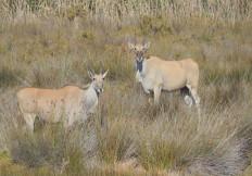Eland on the Cape West Coast