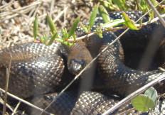 Mole snake on trail